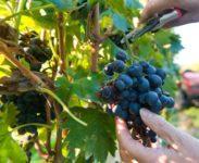 Od zaraz Niemcy praca sezonowa bez języka przy zbiorze winogron 2018 Walldorf