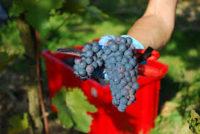 Dam sezonową pracę w Niemczech bez języka zbiory winogron od zaraz Karlsruhe