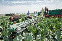 Niemcy praca sezonowa bez języka na polu przy sadzeniu i zbiorze warzyw Frankfurt nad Menem