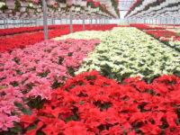 W ogrodnictwie od zaraz Niemcy praca sezonowa 2019 przy kwiatach Löbau
