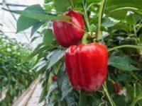 Bez języka od marca sezonowa praca w Niemczech zbiory papryki i pomidorów Torgau