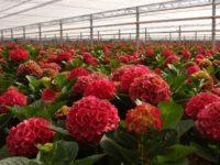 Niemcy praca sezonowa 2019 w ogrodnictwie przy kwiatach bez języka Emsbüren