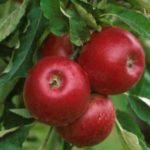 Niemcy sezonowa praca od września 2019 zbiory jabłek bez języka Buxtehude