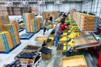 Oferta fizycznej pracy w Niemczech bez języka sortowanie owoców od zaraz Hanower 2020
