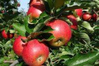 Sezonowa praca w Niemczech przy zbiorach jabłek bez języka od września 2020 w sadzie z Neuendeich
