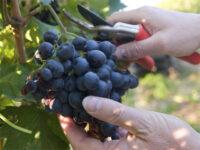 Zbiory winogron Niemcy praca sezonowa bez znajomości języka od zaraz Fryburg 2020