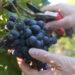 zbiory winogron sezonowa praca winobranie 2020