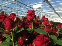 Oferta sezonowej pracy w Niemczech bez języka przy kwiatach od zaraz ogrodnictwo 2020 Westfalia