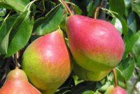 Bez języka sezonowa praca w Niemczech od zaraz zbiory jabłek i gruszek Cottbus 2020