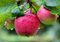 Bez języka Niemcy praca sezonowa od zaraz przy zbiorach jabłek Kindelbrück 2020