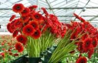 Dam sezonową pracę w Niemczech bez języka w ogrodnictwie przy kwiatach od zaraz Westfalia 2020