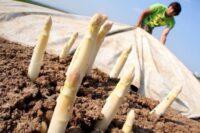 Bez języka sezonowa praca w Niemczech przy zbiorach szparagów 2021 Rain am Lech