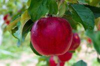 Oferta sezonowej pracy w Niemczech bez języka przy zbiorach jabłek Jork 2021