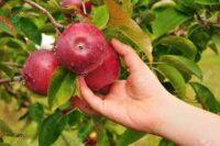 Oferta sezonowej pracy w Niemczech przy zbiorze jabłek bez języka od zaraz, Jork 2021