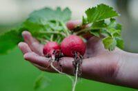 Bez języka sezonowa praca w Niemczech od zaraz przy zbiorze warzyw marchwi, sałaty, rzodkiewki Ulm