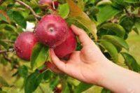 Sezonowa praca Niemcy zbiory jabłek 2021 bez znajomości języka w Jork