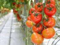 Od zaraz sezonowa praca w Niemczech bez języka zbiory pomidorów w szklarni, Schkölen