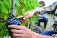 Bez języka sezonowa praca w Niemczech zbiory winogron od zaraz 2021 Landau