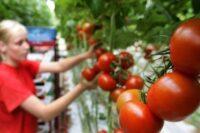 Bez języka dam sezonową pracę w Niemczech od zaraz przy zbiorach pomidorów w Eiche 2021